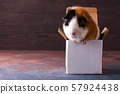 Teddy guinea pig climbing on box in front of dark stone background 57924438