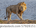 male lion in kruger park south africa near the 57926151