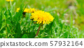 Yellow spring dandelions on a green meadow. Wide 57932164