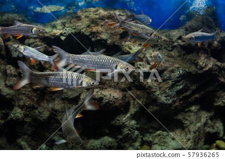 Mad carp, Sultan fish 57936265
