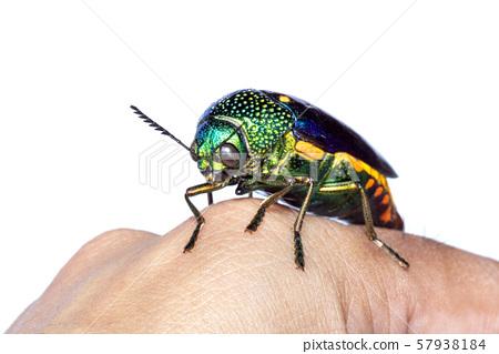 Image of green-legged metallic beetle (Sternocera 57938184