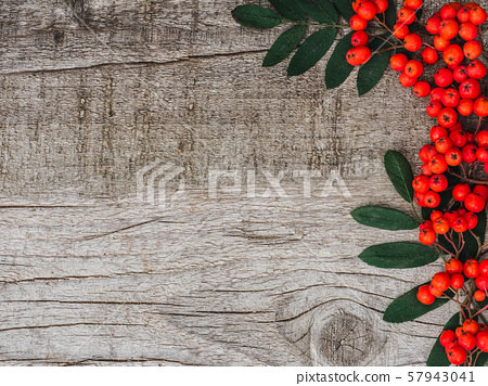 Berries of a bright, ripe mountain ash 57943041