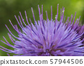 Macro view of a Silybum marianum. In the forest. 57944506
