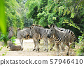 A group of zebra were resting by stand 57946410