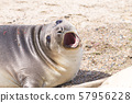 Elephant seal on beach close up, Patagonia, 57956228