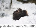 Pair of young brown bear play together - Ursus 57958005