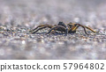 Wolf spider isolated on gray surface in Utah 57964802