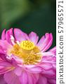 연꽃 초여름 이미지 57965571