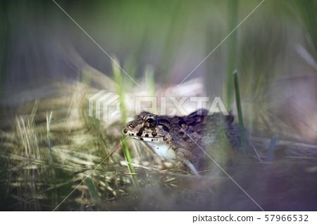 Feathervarya kawamurai, Indian Rice Frog 57966532