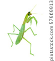 Mantis watercolor 57969913