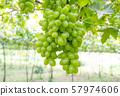 green grape in vineyard 57974606