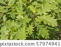 Green oak leaves on a branch in the sunlight. 57974941