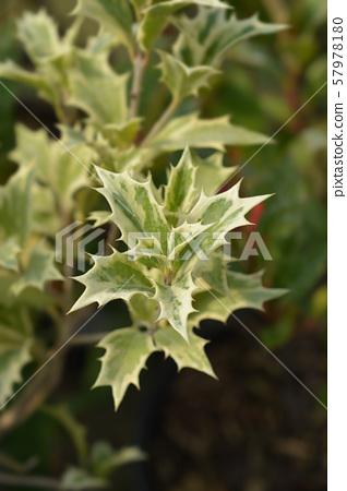 Holly osmanthus Variegatus 57978180
