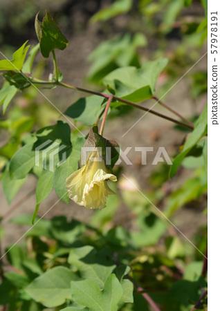 Levant cotton 57978191