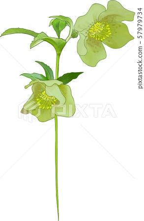 聖誕玫瑰(綠色) 57979734