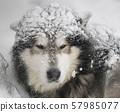 Snow-covered fluffy dog 57985077