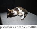 The thai cat lay down in dark room 57985088