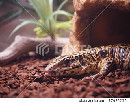 파충류 (골든 테구)의 사육 (대형 도마뱀) 57985235