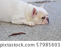 white french bulldog , sleepy french bulldog 57985603