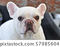french bulldog or squint-eyed french bulldog, 57985604
