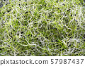 Fresh micro greens onion, sprouts for healthy salad. Healthy background 57987437