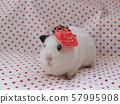 Setsubun in the guinea pig 57995908