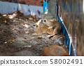 meerkat, suricate mating in the zoo park. 58002491