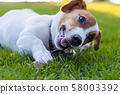 Puppet Jack Russell in the green lawn, Funny dog 58003392