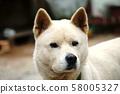 Handsome Jindo Dog 58005327