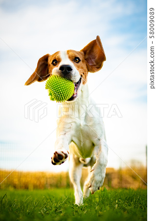 Portrait of beautiful dog outdoors,Running full of 58009089