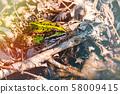Edible frog, green frog, common water frog 58009415