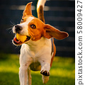 Beagle dog fun in garden outdoors run and jump 58009427