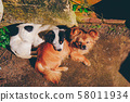 Dogs are sleeping at backyard of a coffee shop in Da Lat, Vietnam. Royalty high-quality stock photo image of animal. 58011934
