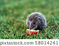 Prickly hedgehog on a green grass near the apple 58014241