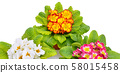 Primroses isolated on white background. Wide 58015458