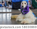White Borzoi laying on the stone floor indoors, Purple scarf around neck, groomed and ready, waiting 58030869