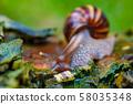 African snail - madagascar. AAfrica wildlife 58035348