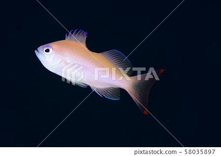 Kerama Hanadai Young Fish 58035897