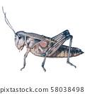 蝗蟲 58038498