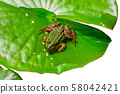 Water frog sits on green water lily leaf - Cutout 58042421