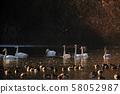 天鹅在奥克 58052987