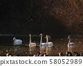 天鹅在奥克 58052989