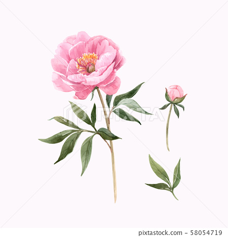 Watercolor peony flowers vector illustration 58054719