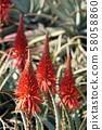 成熟的Kidachi蘆薈 58058860