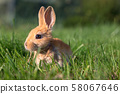 A Baby Bunny Plays on Green Grass 58067646
