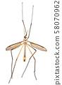 Crane Fly or Tipula 58070962