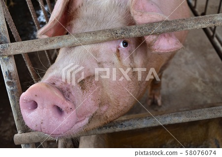 The Pink Pig in a cage, The eyes of animal filled with feeling and intelligence, Farm animals in Thailand   58076074