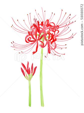 石蒜(Lycoris radiata)[Higanbana 58080072
