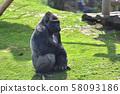 Adult gorilla in green grass 58093186