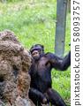 열심히 꿀을 핥는 침팬지 58093757